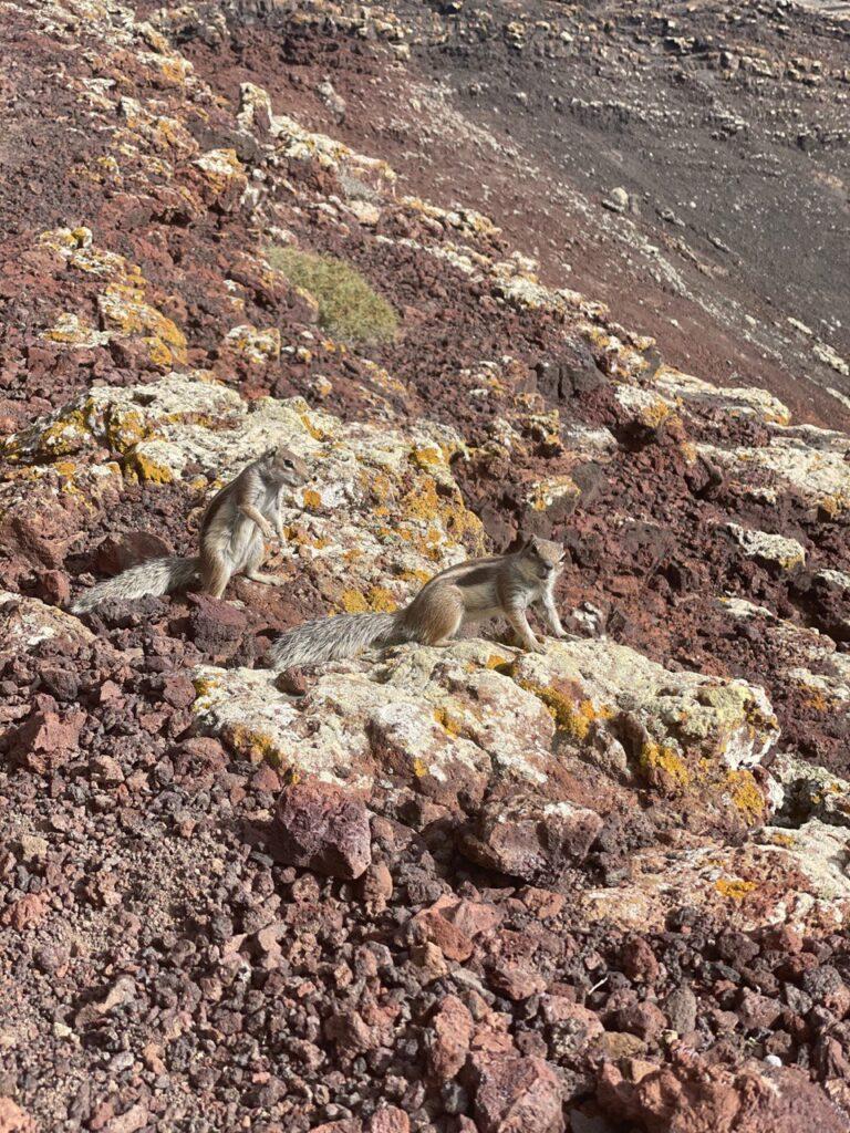Scoiattoli al Calderon Hondo di Fuerteventura